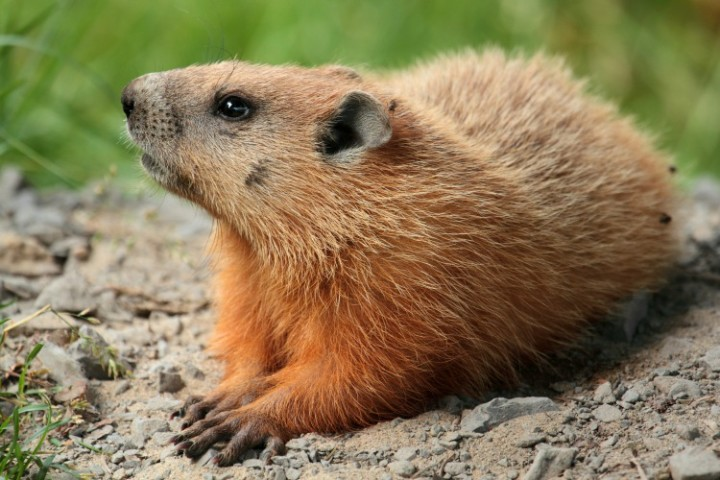 HOW TO GET RID OF GROUNDHOGS, SQUIRRELS, AND RACCOONS